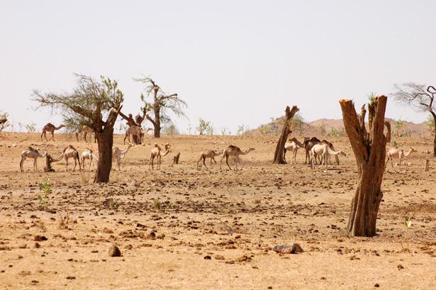 sudan-grazing