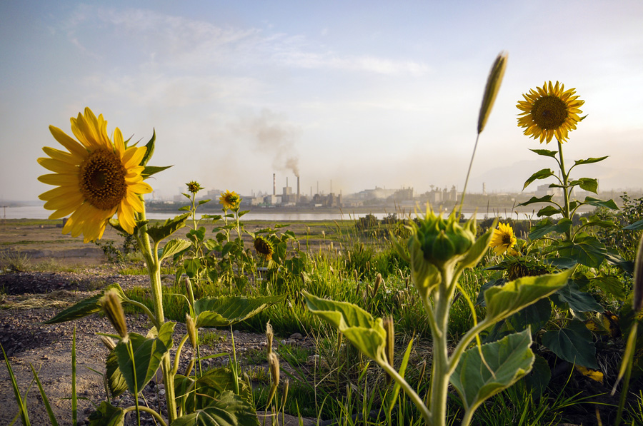 Wuhai City Sunflowers