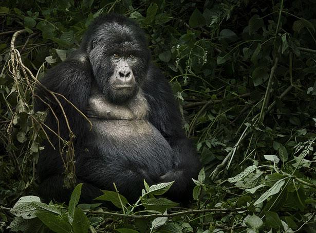 gorillaweb