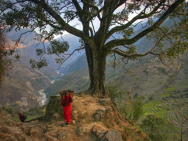 Nepal-tree2