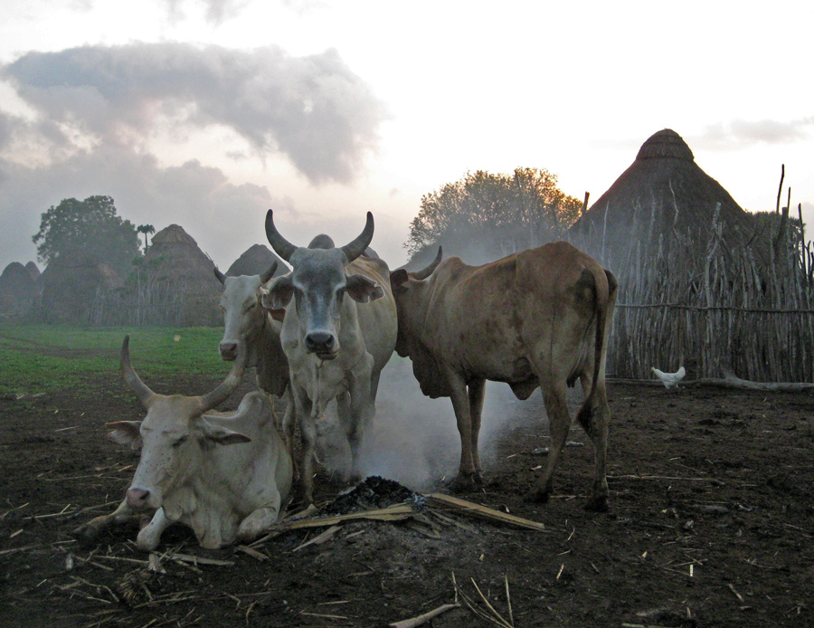 Orma-cattle