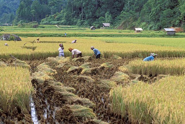 Indonesia rice field