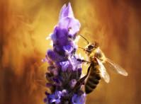 bee pollen2
