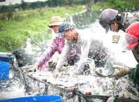 Tilapia_harvest_by_Han_HAn
