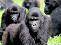 Grauer-Gorilla