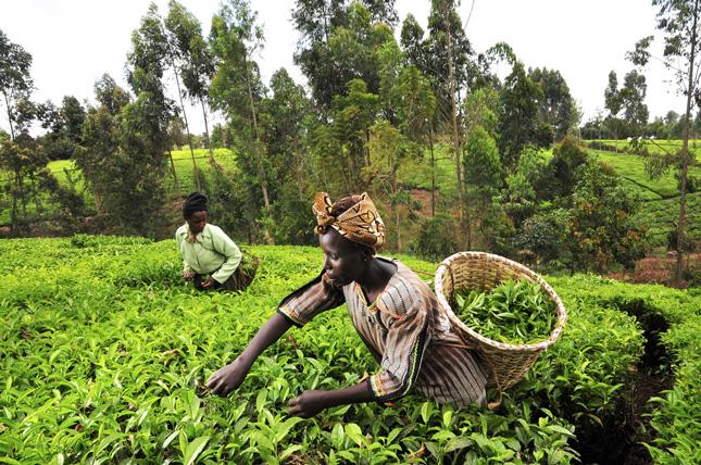 Kenya-tea