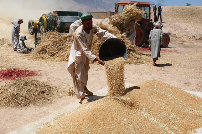 Balkh-Wheat-Harvest