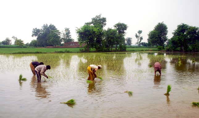 Rice-Farming-Pakistan