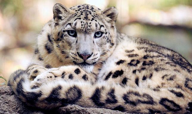Snow Leopard Diplomacy
