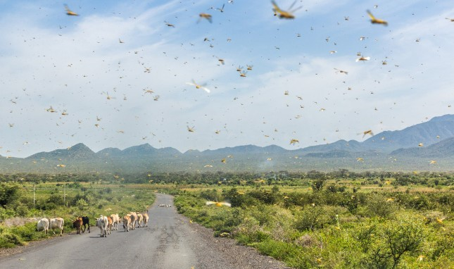 A Plague of Ravenous Locusts Descends on East Africa, Jeopardizes Food Security
