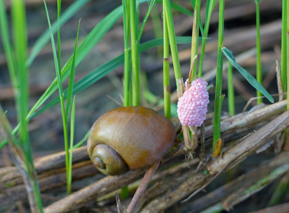 Golden,Apple,Snail,Spawn,Egg