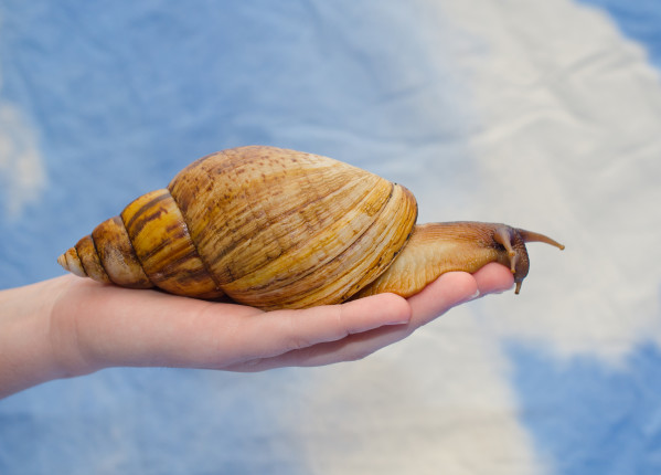 Giant,African,Snail,On,A,Human,Hand,(against,A,Bright