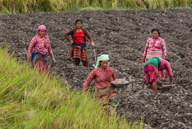Kathmandu,/,Nepal,-,September,25,2015:,Women,Planting,Potatoes