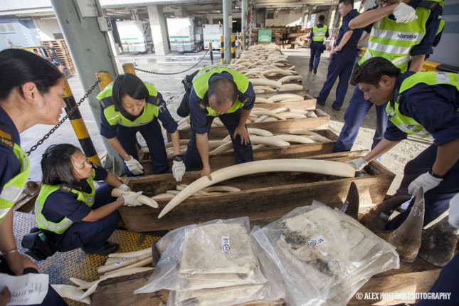 Customs officers seize ivory tusks, rhino horn and leopard skins, with a street value of around four million Euro, at the Hong Kong Customs and Excise headquarters in Hong Kong, China, 08 August 2013. This large seizure of wildlife products bound from Nigeria was disguised as timber inside two containers. It is the latest in a recent surge of wildlife seizures that underline Hong Kong's role as a pivotal transhipment point for illicit wildlife products bound from Africa to a booming underground market in mainland China. The growing middle class in China is driving the market for carved ivory trinkets made from elephant tusks, as well as rhino horn which is taken as a so-called aphrodisiac or medicinal tonic. The illegal trade is driving many iconic African animal species to extinction, as well as funding armed terrorist groups in the horn of Africa.