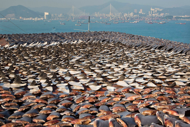 A sea of fins covers the roof of a building in Hong Kong, representing the slaughter of an estimated 30,000 sharks. Following a public outcry over the growing volume of fins being dried on city pavements, traders started to dry shark fins on roofs. This picture was taken as part of Paul's report on the worldwide slaughter of sharks for their fins. The most reliable estimate puts the global shark catch at around 100 million a year, but the actual figure could be as high as 273 million. Most species targeted are large and slow to reproduce – their reproduction rates cannot keep pace with the numbers being killed. More than 70 per cent of the 14 most traded shark species are classified as endangered or vulnerable, meaning they are at a high or very high risk of extinction in the wild. Along with fins, other shark parts including meat, skin, teeth, jaws and oil are sold. But it has been the high market value of shark fins, chiefly in Hong Kong and China, that has driven demand. However, a recent report indicates that shark fin is declining in value, with one trader quoted as saying that it is now the same as squid on the street.Photo: Paul Hilton Over 100 million sharks are killed each year for the fin trade. Hong Kong, Singapore and China are the biggest consumers of shark fin globally. Indonesia is the biggest exported of shark fins annually. Photo: Paul Hilton for Earth Tree Images