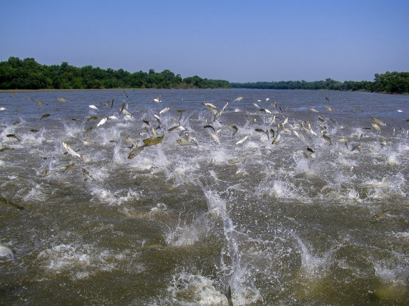 Flying,Asian,Carp,Massively,Jump,Out,Of,The,Water
