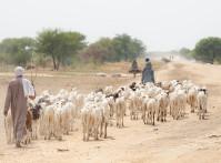 Sheep,Herder,With,Herd,Of,Sheep,In,Village,In,Desert